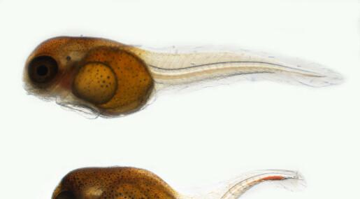Bruker fiskeegg til å avsløre miljøgifter i havet