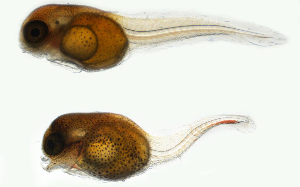 Larver av rognkjeks rett etter klekking. Den øverste er normal mens den nederste er deformert. Misdannelsen kom etter fiskeegget var utsatt for miljøgifter i et forsøk.