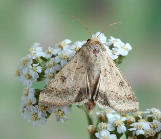 Heliothinae er en underfamilie av sommerfugler som gjør stor skade på avlinger. Pestfagerfly er blant dem.