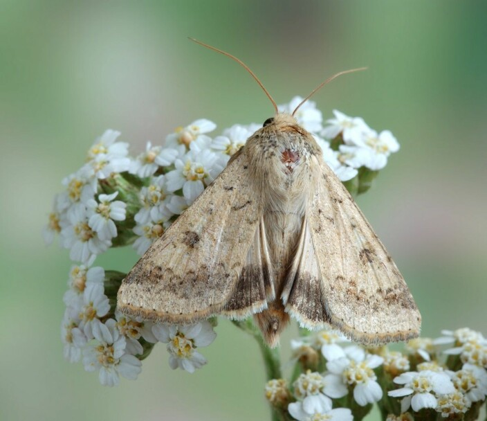 Heliothinae is a subfamily of moths and butterflies with several species that do great damage to crops. The cotton bollworm is among them.