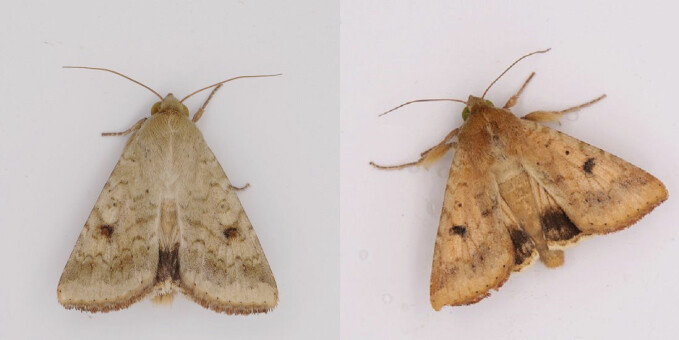 The cotton bollworm adults, male and female. They are a particularly big problem in China.