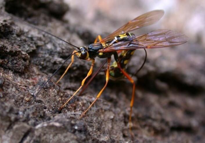 Megarhyssa superba er en parasittoid på bartrevepser. Legg merke til den svært lange egglederen som brukes til å bore hull i barken for å nå inn til vertslarven hvor eggene legges. (Foto: Alexander Shcherbakov)