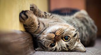 Katter kan bli koronasmittet, uten å bli syke