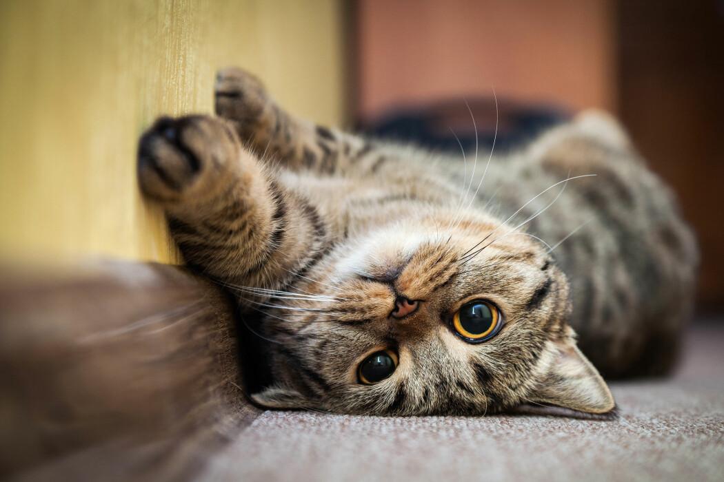Katter kan bli smittet av koronaviruset og de kan bringe smitten videre til andre katter, men uten at noen av dyrene blir syke. Det finnes ingen bevis for at katter smitter mennesker med viruset.