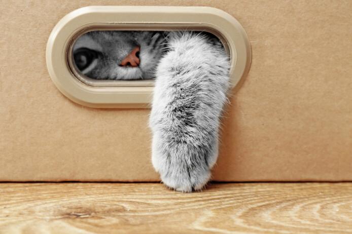 Selv om katter kan bli smittet av det nye koronaviruset og kan bringe smitten videre til andre katter, mener forskerne bak denne nye studien at det er liten grunn til å frykte smittespredning gjennom katter. De oppfordrer likevel koronasmittede katteeiere til å holde kattene sine innendørs et par dager, for sikkerhets skyld.