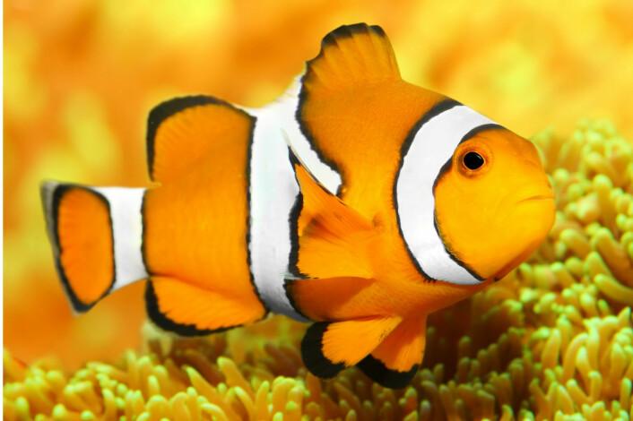 Klovnefiskene ble berømte da tegnefilmen «Oppdrag Nemo» gikk på kino. Klovnefisker lever hele livet (unntatt larvestadiet) sammen med tropiske sjøanemoner – og utbredelsen av arten passer fint med modellene over fortidens klima i den nye undersøkelsen. (Foto: Kletr/Microstock)
