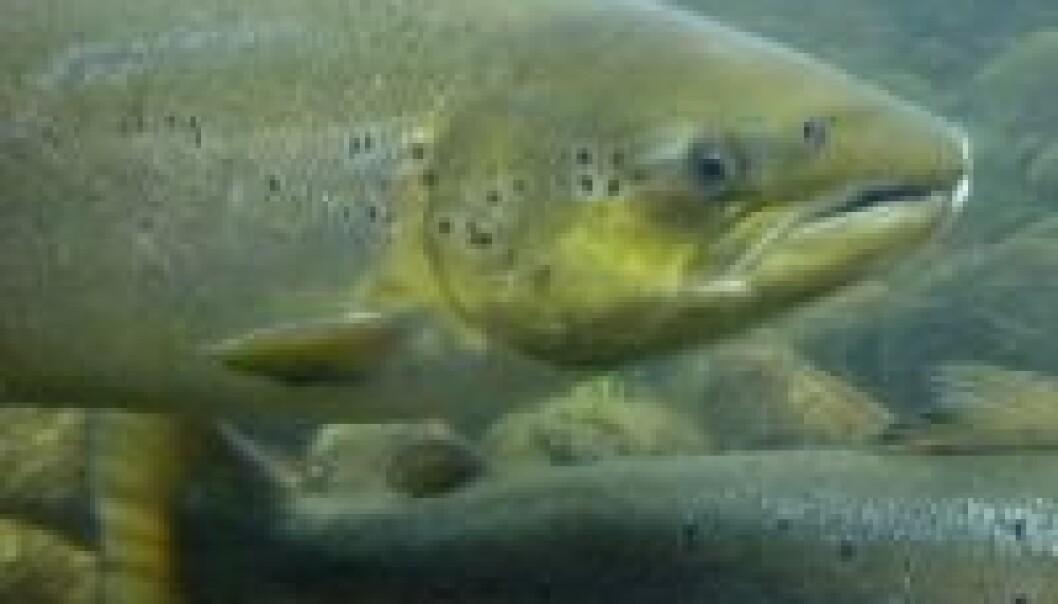 Fiskevirus påvises raskere med ny metode