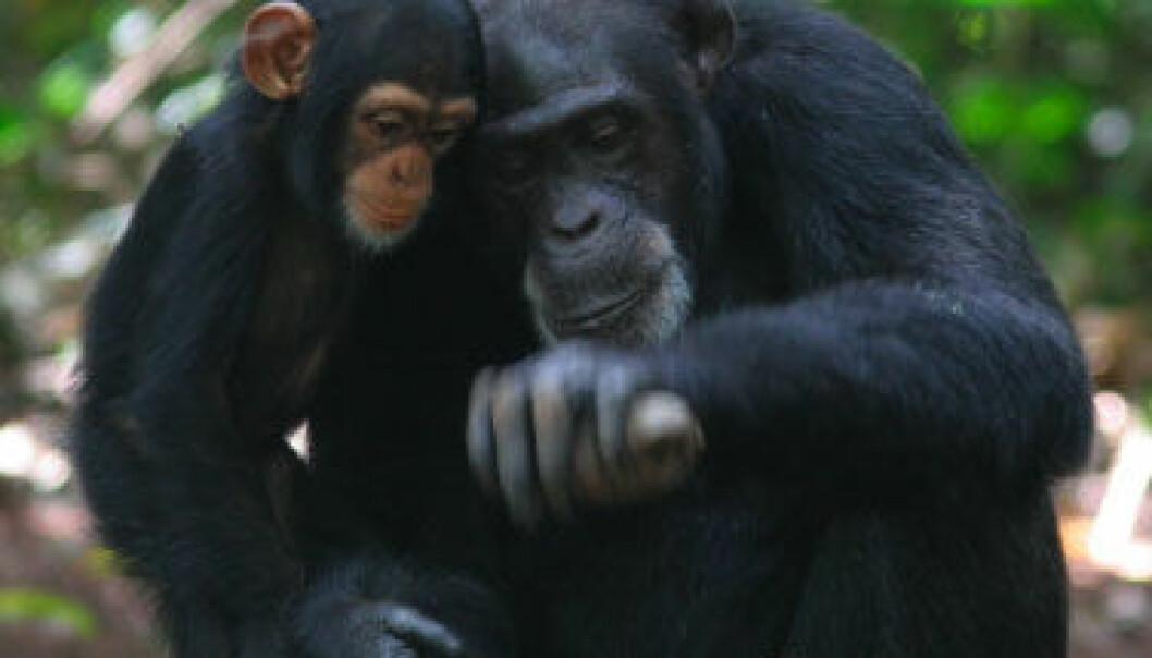 Sjimpansemor som åpner nøtt med steinverktøy. Etsuko Nogami