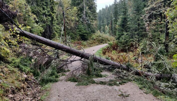 Mange trær har veltet i Oslo i september 2020. Her er et eksempel fra Lillomarka, hvor trret både har revet opp rota og ligger over en strømledning.