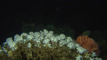 En stor koloni av Lophelia pertusa fra et om lag to hundre meter langt rev på 320 meters dyp utenfor Frohavet. Risengrynskorallen, Primnoa, sees til høyre i bildet. (Foto: MAREANO/Havforskningsinstituttet)