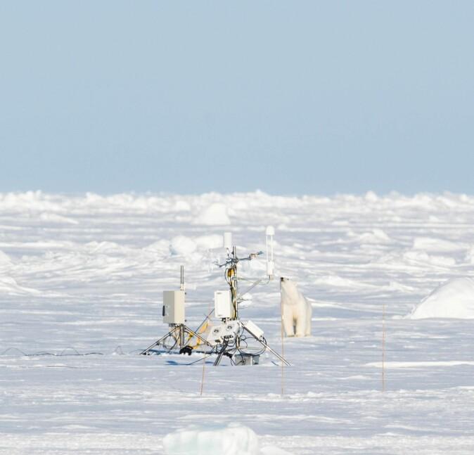 Isbjørn er en av flere arter som står i fare for å miste islagte leveområder, i takt med de pågående klimaendringene. På bildet studerer et eksemplar av arten noen instrumenter på isen under innfrysningen av Lance.