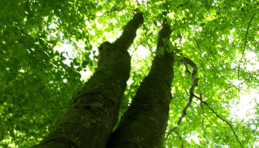 Dårlig helse i lauvskog, god i barskog