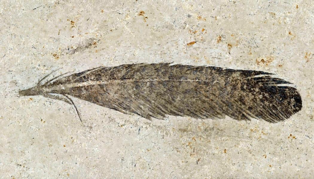 Fjæren ser ut som den kunne tilhørt en moderne fugl, men ble funnet i et 150 millioner gammelt sedimentlag. Den kastet lys over fuglers evolusjonshistorie.