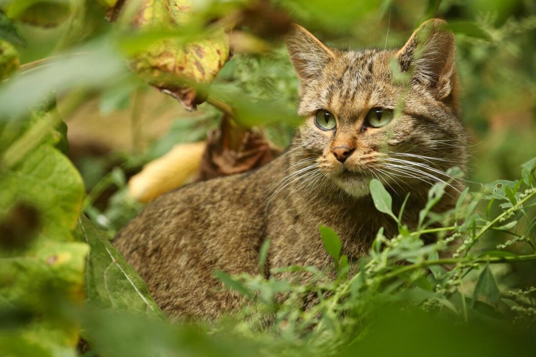 Den europeiske villkatten i Jurafjellene er truet av utryddelse - og tamme katter får skylda. I Norge har vi ikke villkatt, men tamme katter fører til en viss bekymring - nettopp fordi de ikke hører hjemme her, forteller zoolog Petter Bøckman.