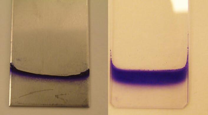 Bakterienes evne til å danne biofilm sjekkes på ulike typer underlag og ved ulike temperaturer. Her ser vi E. coli-biofilm på stål ved 20 grader og på glass ved 12 grader. Biofilmen er farget slik at det skal være lettere å se den. (Foto: Heidi Solheim, Veterinærinstituttet)