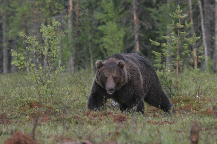 Brunbjørnens genom er bindeleddet mellom kjempepandaen Ailuropoda melanoleuca og isbjørnen Ursus maritimus. (Foto: Alexander Kopatz)