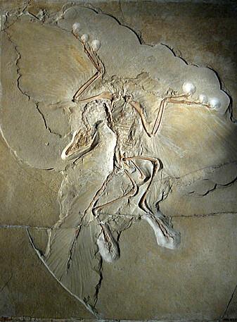 Fossiler av Archaeopteryx har et umiskjennelige avtrykk av fjærdrakt. Det finnes 13 eksemplarer.