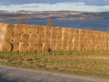 Bare 20 prosent av halmen brukes som strø eller fôr. (Foto: Ragnar Eltun)