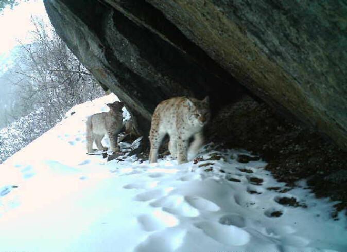 Ei hunngaupe med en mye mindre unge passerte samme viltkamera samme dag og noen dager senere.