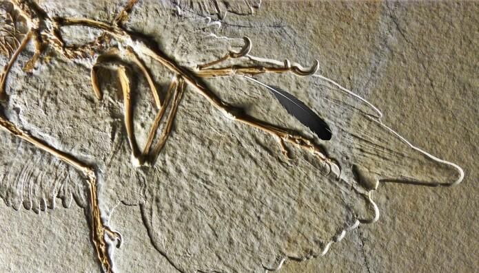 I vingen på en av Archaeopteryx-fossilene var det avtrykk etter en fjær som ligner i form og størrelse.