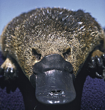Da europeiske zoologer fikk tilsendt de første utstoppede nebbdyrene fra Australia, trodde de knapt sine egne øyne. Flere trodde det hele var en bløff, og at nebbet var sydd på.