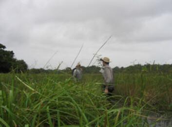Arkeologer på jakt etter spor av fortidas bønder i våtmark i Fransk Guyana. Kunnskap om dyrkingsmetoder før europeerne kom til Sør-Amerika kan være gull verdt i dag. (Foto: Stephen Rostain)