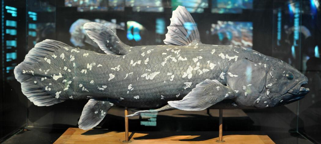 Dette er en rekonstruksjon av en vestindisk blåfisk. Etter en oppdagelse av lignende fisk i Indonesia, har antallet gjenlevende arter i den eldgamle familien blitt oppgradert til to. Sammenligner du med fossilet lenger oppe, er det lett å skjønne hvorfor den kalles en levende fossil.