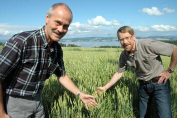 Forsker Mauritz Åssveen og forskningsleder Ragnar Eltun i et av kornfeltene ved Bioforsk Øst Apelsvoll. (Foto: Jon Schärer)