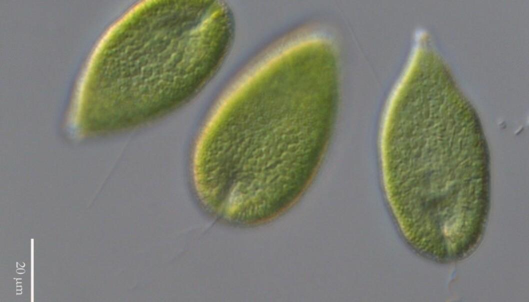 The algae Gonyostomum semen under a microscope.