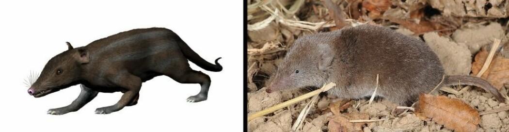 Til venstre en gjenskapning av et pattedyr for 160 millioner år siden. Til høyre en koreansk spissmus.