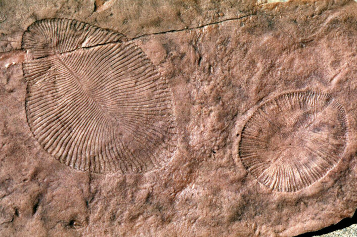 Fossil av Dickinsonia, primitiv livsform fra Ediacara. Nå mener den amerikanske forskeren Gregory Retallack at steinen omkring denne organismen var jord. Dette viser ifølge Retallack at den levde på land, ikke i vannet. (Foto: G. Retallack)