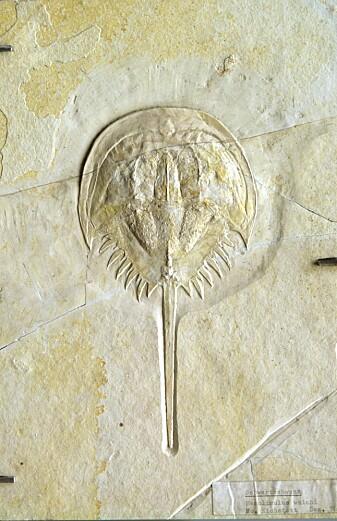 Et dolkhale-fossil, slående lik de som fortsatt krabber på amerikanske strender.