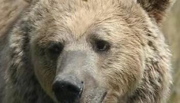 Bjørnen er genkartlagt