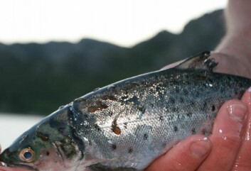 Lakselus på fisk. (Foto: Havforskningsinstituttet)
