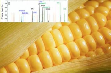 Ny metode identifiserer både hvilke typer genmodifisert mais som finnes i matvaren og den eksakte mengden av GMO. (Illustrasjon: Nofima)