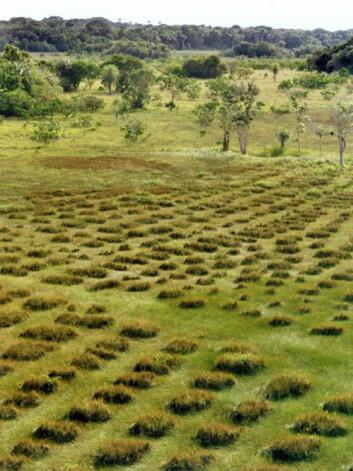Dyrkingsfelt med de spesielle jordhaugene som ble brukt av bønder i dagens Fransk Guyana før europeerne kom. (Foto: Stephen Rostain)