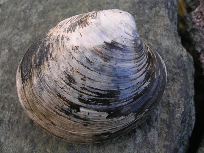 Muslinger fra Island har gjennom tiden vært påvirket av temperaturen i havet. Forskere har brukt årringene i muslingene til å lage en kalender som forteller om klimaet 1300 år tilbake i tiden. (Foto: James Scourse, Bangor)