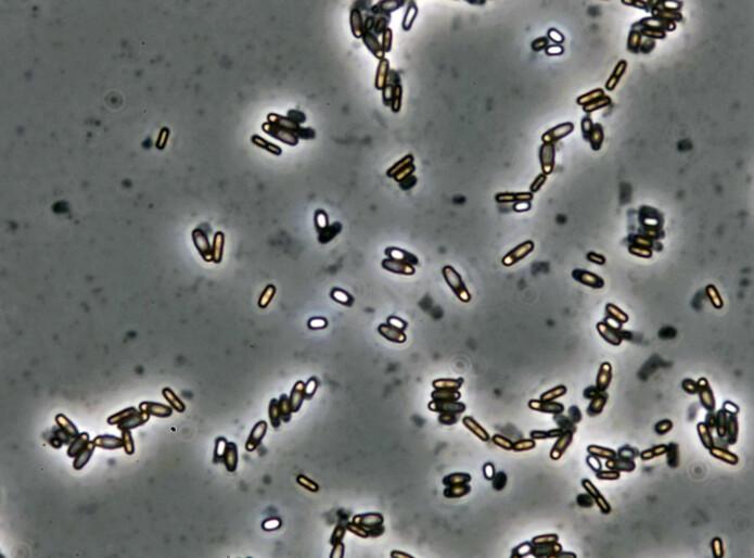 Bacillus licheniformis danner lysende sporer inni morcellen etter tre til fem dager når det er mangel på næring. Sporen tåler frost, tørke og høy temperatur. Bildet er tatt med 1000x forstørrelse i et mikroskop.