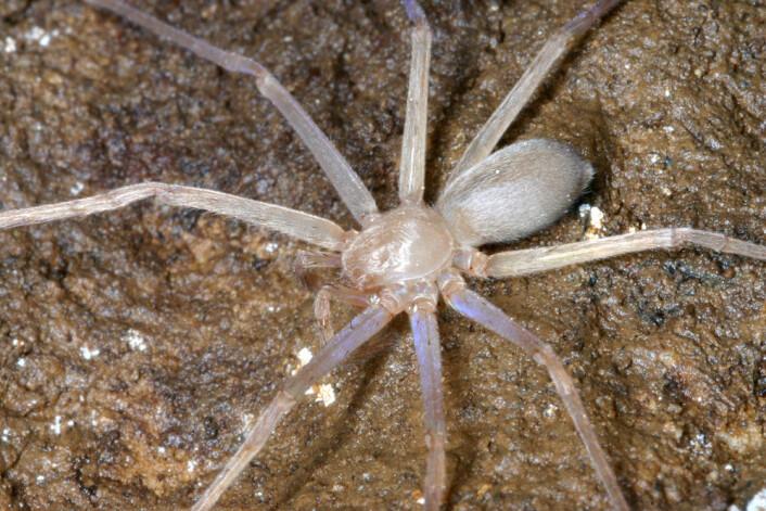 Sinopoda scurion i sitt naturlige miljø, her kanskje opplyst av hodelykta den er oppkalt etter. (Foto: Senckenberg)
