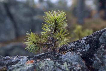 Tilveksten er beskjeden i uproduktiv skog. 5,2 prosent av den totale tilveksten skjer her. (Foto: John Y. Larsson / Skog og landskap)