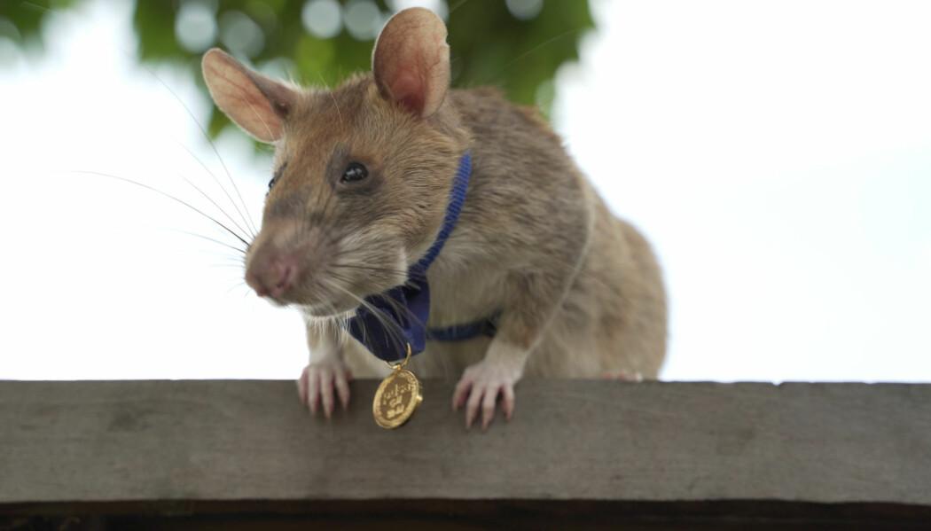 Magawa fikk en bitteliten gullmedalje som belønning for alle bombene den har funnet under bakken i Kambodsja.