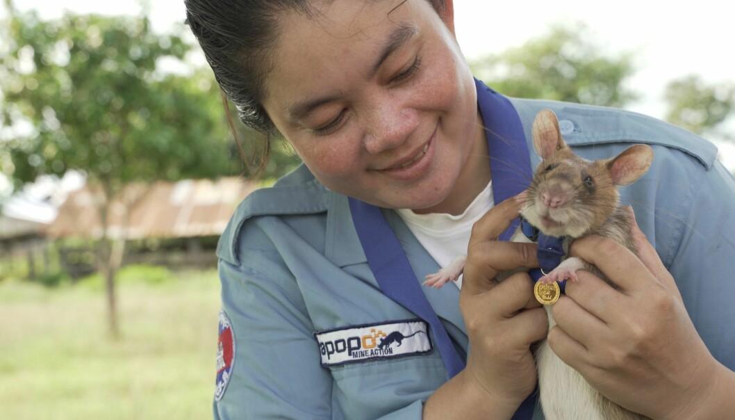 So Malen jobber sammen med Magawa. Når rotta har snust seg fram til landminene, sier den fra til So Malen. Hun sørger for at bombene blir gravd opp av bakken og ødelagt.