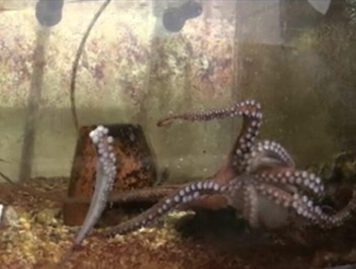 Blekksprut møter avkuttet tentakel. (Foto: Current Biology, Nesher et al.)