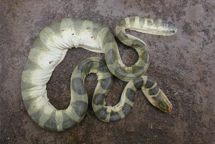 Dansk havslangeforsker vil vite hvilke slanger som står bak biteepisodene i Vietnam. Ved å identifisere slangene håper han å kunne lage motgift, slik at menneskeliv kan reddes. (Foto: Arne Redsted Rasmussen)