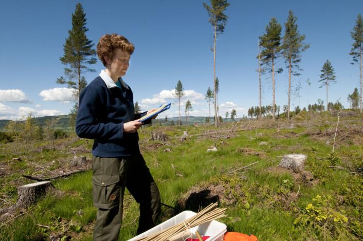 Forsker Toril Eldhuset planlegger prøvetakingen på hogstfeltet på Ringsaker. Forsøket har som mål å studere effektene av økt uttak av greiner og topper til bioenergi. (Foto: Lars Sandved Dalen)