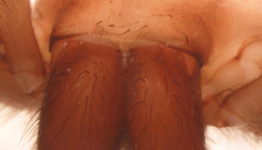 Edderkoppen Sinopoda scurion mangler øyne. Senckenberg