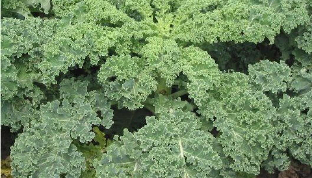 Grønnkål tilhører kålfamilien, men mangler det karakteristiske «hodet». I stedet har den blader. De er krusete, og fulle av blant annet antioksidanter, kalsium og jern. Rasbak/Wikimedia Commons