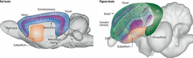 Til venstre ser vi strukturer i hjernebarken på en rotte. Til høyre ses samme strukturer i en duehjerne. Men det området forskerne har sett på i kråkestudier, ligger utenfor områder med disse strukturene. De har nemlig målt aktivitet i det områder som kalles NC på illustrasjonen av duehjernen. Og det er kanskje fuglenes hukommelsessenter.