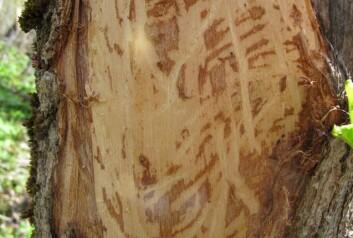 Løvtrærne får alvorlige skader når hjorten gnager av bark på vinteren. (Foto: (Foto John-Bjarne Jordal))