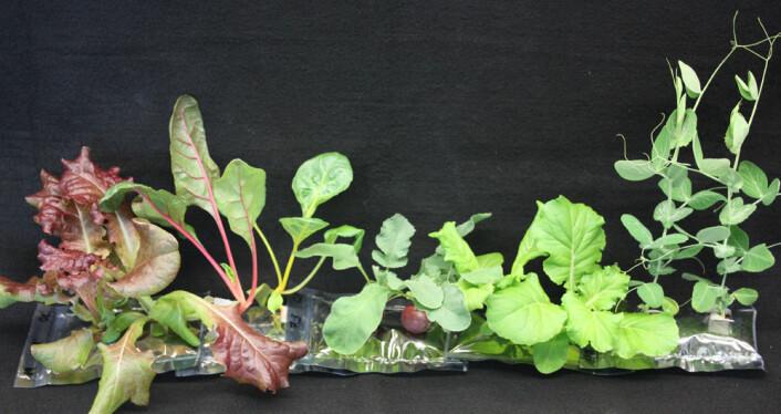 Grønt knask som er blitt testet i VEGGIE før avreise til den internasjonale romstasjonen neste år inkluderer forskjellige typer grønne salater, reddiker og erter. (Foto: NASA)